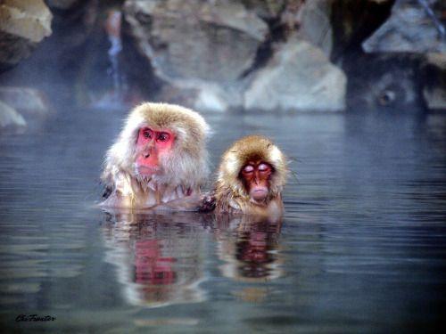 Japanse makaken kunnen intens genieten van de warm water bronnen...
