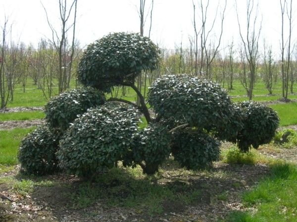 Evergreen tree: Elaeagnus ebbingei