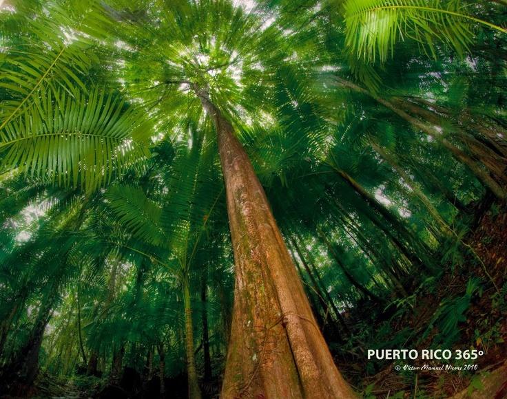 En la falda de El Yunque crece el Bosque de los Árboles Grandes. Es el más diverso de los tipos de bosques que comprenden la reserva y uno de los más espectaculares por la altura que alcanzan los árboles de hasta 150 pies de alto.
