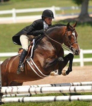 Newly Approved Hanoverian - Vallado (Now Or Never M - Saros xx) available via cooled and frozen semen #KWPN #studmuffin #hunterjumper #Praise #breedingstallion