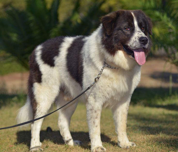 Αυτές είναι οι 6 ελληνικές ράτσες σκύλων - Τι λες τώρα;