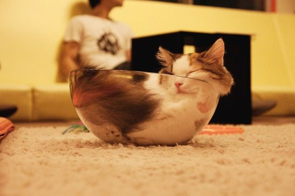 透明ボウルに眠る猫、猫の流体説を示す強力な事例に « 猫ジャーナル