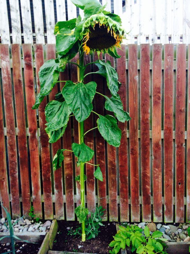Sunflower,xxx