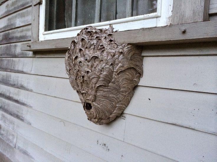 Spicebush Log: A Hornet's Nest