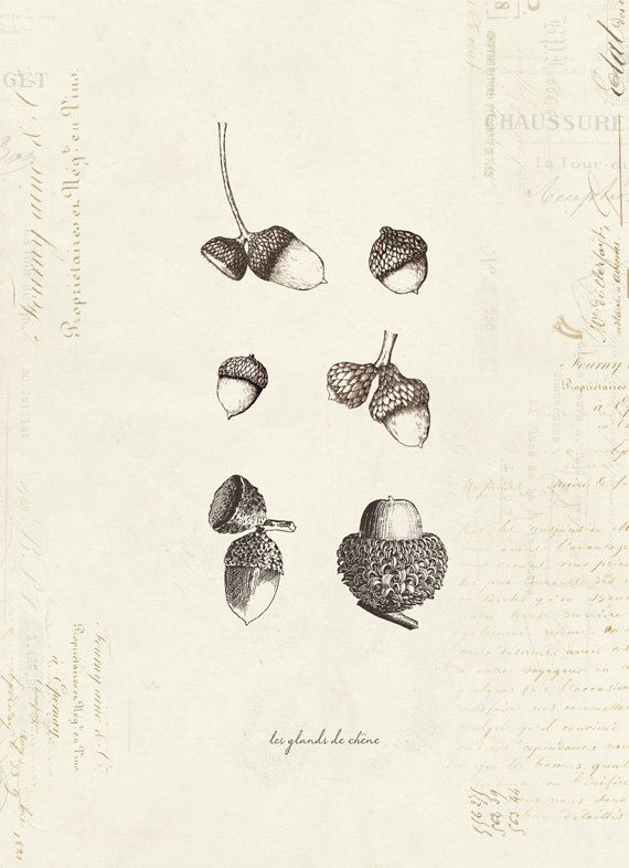 "Vintage Oak Acorns ""Les Glands De Cheme"" on French Ephemera Print 8x10 P29 on Etsy, $14.00"