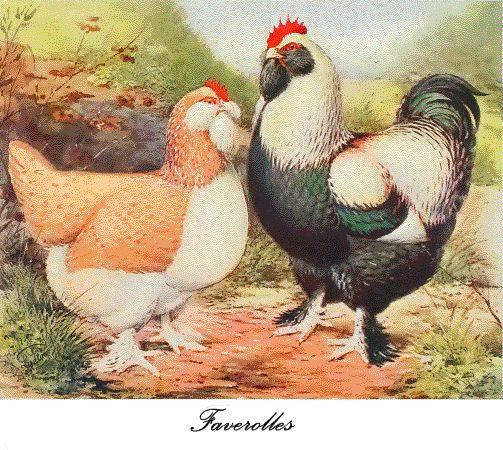 Faverolles hen & rooster.