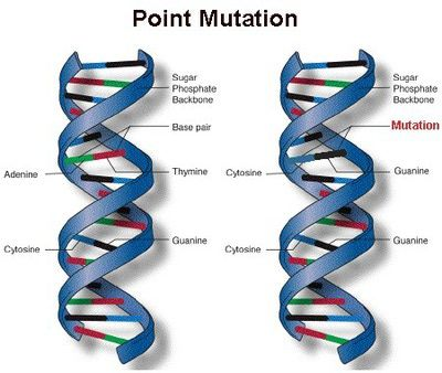 Point mutations change a single nucleotide base pair-3 types: Silent Mutation: mutation does not change the protein bc multiple genetic codons can encode for the same amino acid. Amino acids are coded for by 3 nucleotide sets called codons. Missense Mutation-alters the nucleotide sequence so that a different amino acid is produced. Nonsense Mutation-A stop codon is coded for in place of an amino acid; signals the end of the translation process and stops protein production-usually…