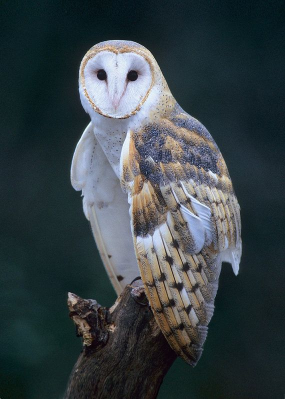 Barn Owl 8x10 Bird Photograph Wildlife Nature Photo by NatureIsArt