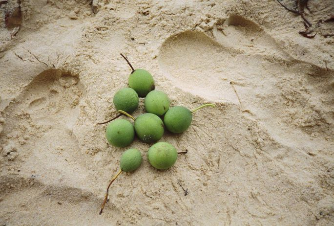 These fallen Tamanu fruits contain the nuts used to make Tamanu oil---the single most beneficial thing you can apply to skin. Photo by Chris Kilham