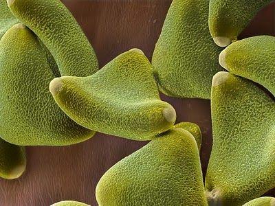 Silver leaf tree pollen