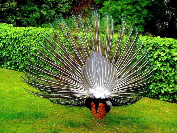 peacock tail | Peacocks Tail Photograph