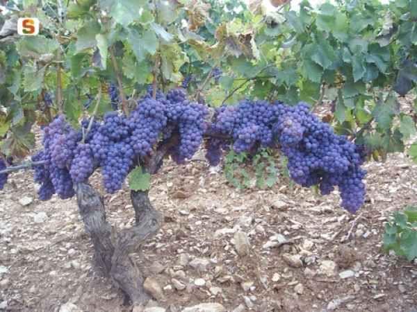 Il #Cannonau è il vitigno a bacca nera più diffuso in #Sardegna. Sapevate che è il vino più antico del Bacino del Mediterraneo e che non è stato importato dalla Spagna, come si riteneva erroneamente, ma ha origini autoctone? Sono stati infatti ritrovati in diverse zone dell'isola alcuni resti di vinaccioli risalenti a 3200 anni fa.   Dalle sue uve si produce prevalentemente il #vino DOC Cannonau di Sardegna.  #wine #sardinianwine #sardinia