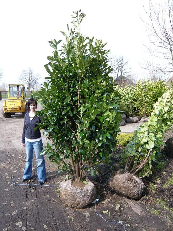 1000 bilder zu gro e heckenpflanzen teil 2 prunus taxus thuja auf pinterest prunus. Black Bedroom Furniture Sets. Home Design Ideas
