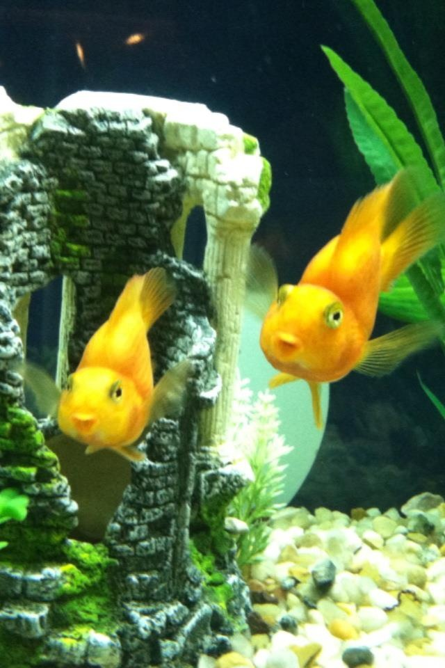 21 best images about freshwater parrot fish on pinterest for Parrot fish freshwater