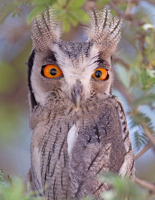 White-Faced Owl. by Hendri Venter.