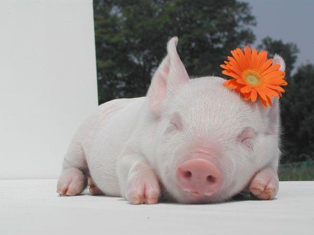 Flower power.Sleep Beautiful, Piglets, Orange Flower, Pets, Pigs, Sweets Dreams, Baby Animal, Flower Power, Piggies