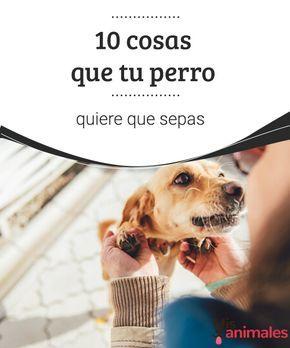 10 cosas que tu perro quiere que sepas Los perros no pueden hablar, pero sienten mucho por nosotros. Hay 10 cosas que tu perro quiere que sepas y nosotros te las vamos a contar. #perro #deseos #alimentación #hablar