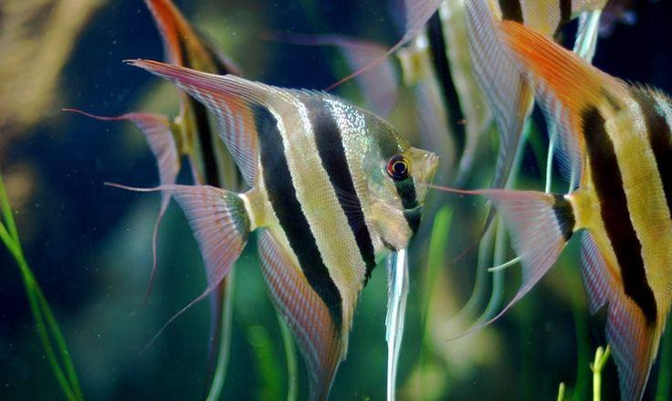 Preparar el acuario para el pez escalar - http://www.depeces.com/preparar-acuario-pez-escalar.html
