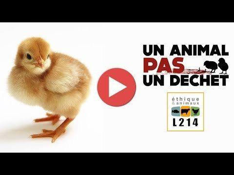 M. Le Ministre de l'Agriculture, de l'Agroalimentaire et de la Forêt: Stop au broyage des poussins