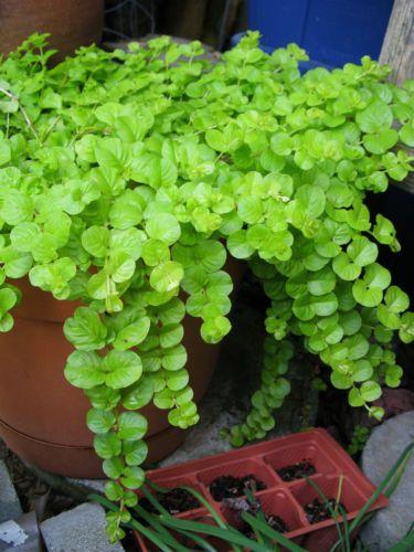 Goldilocks Creeping Jenny Lysimachia Nummularia: 108 Best Images About Backyard On Pinterest