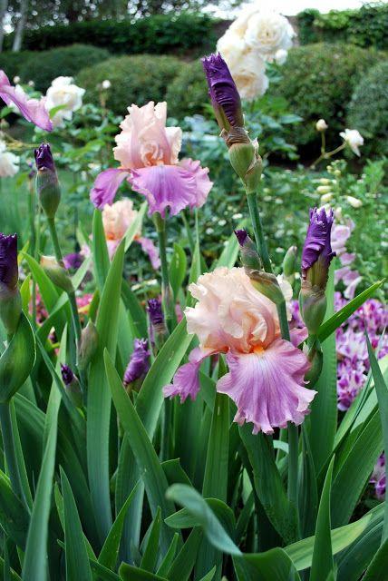 "Tall bearded iris ""Sweet Musette"""