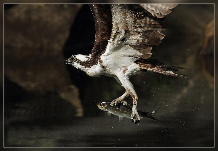 Osprey with Alewife