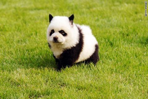 dogs that look like pandas!