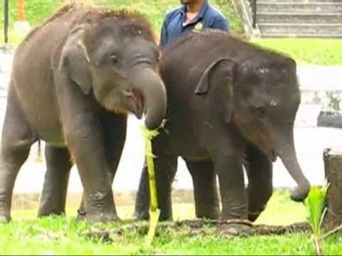 Anak Gajah Di Zoo Johor (2009)