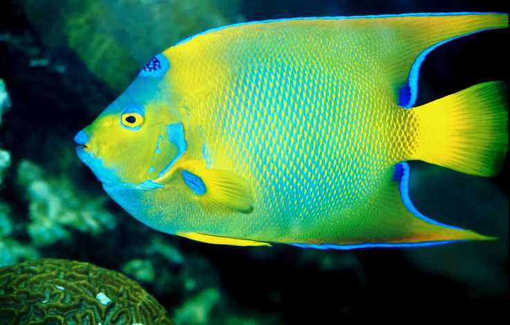 7 best colorful fish images on pinterest colorful fish for Colorful freshwater aquarium fish