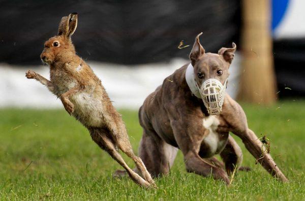 Catégorie Sports Action 3ème prix, William Cherry (Press Eye)   Le lièvre bondissant.    Des lévriers poursuivent le lièvre lors de la Irish Cup sur le terrain de course de Limerick.