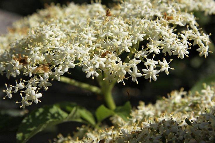 În REUMATISM şi GUTĂ, florile de SOC reduc durerea şi redau mobilitatea articulaţiilor - Top Remedii Naturiste