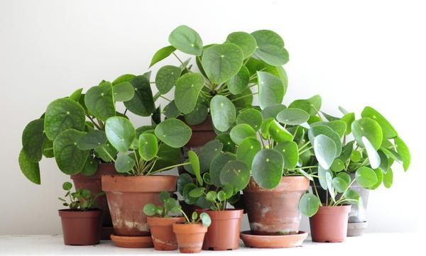 Pilea/Chinese Money Plant – Plant of the Month – House Plants