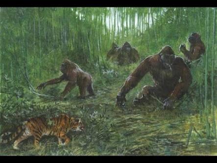 Gigantopithecus era el doble de grande que un gorila. De echo, es el simio más grande que ha existido, un auténtico king kong. Hay quien cree que es el origen del mito del yeti. Sólo se han encontrado...