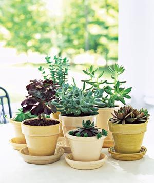 Potted succulents make a beautiful low (and low-maintenance) centerpiece for a dining table.