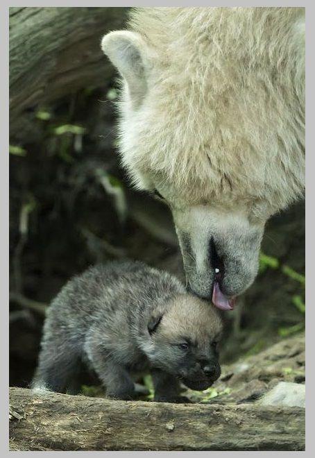 Kutup kurdu ile bebek kurt