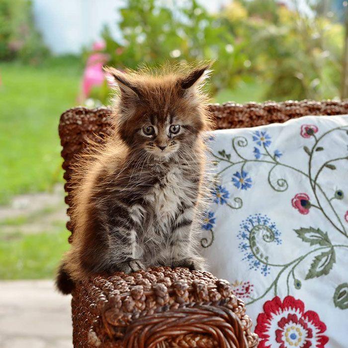 70+ Süße Maine Coons Kätzchen, die absolut entzückend sind   – Cats