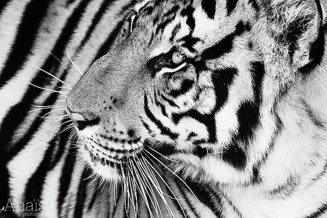 Tiger, Chiang Mai, Thailand Anais L Photographie