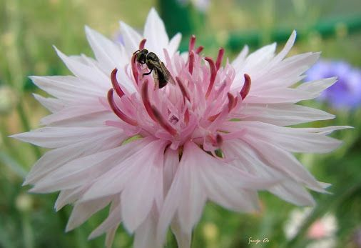 Sweat bee © Sandy Ao | Google+