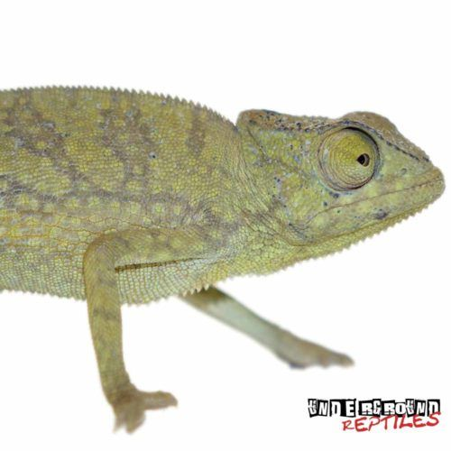 Graceful Chameleons For Sale - Underground Reptiles