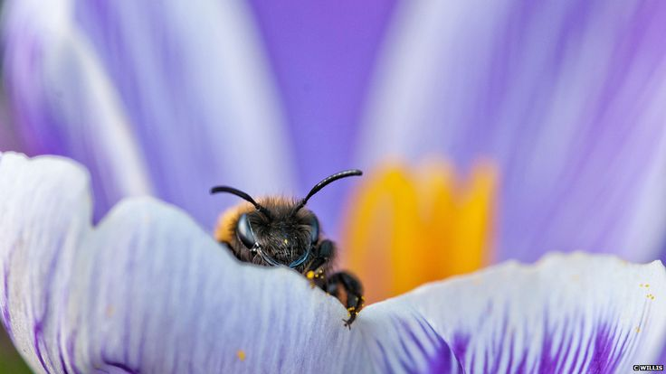 Bee emerging from crocus (c) Christine Willis