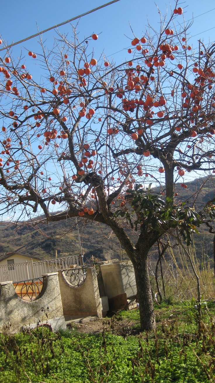 Persimmon tree laden with fruit in my Great Uncle's Garden. Abruzzo, Italy