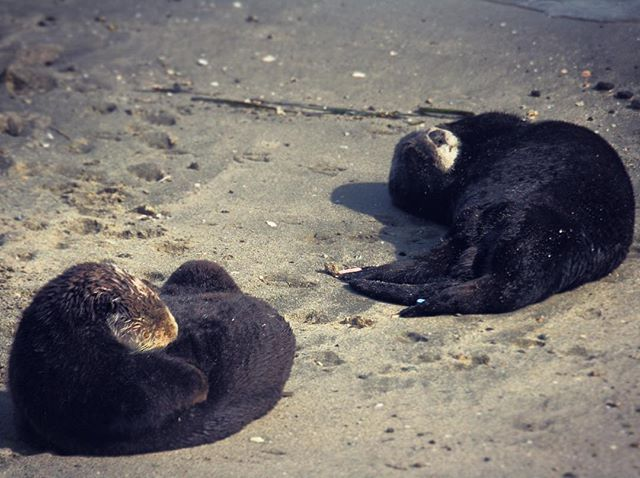 One for #worldotterday. Just don't let those furry faces fool you... Sea otters (Enhydra lutris). #montereybaylocals - posted by Sharon https://www.instagram.com/sha.hsu - See more of Monterey Bay at http://montereybaylocals.com