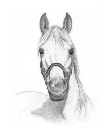 Arabian Horse Portrait Drawing  by Margret Heyn