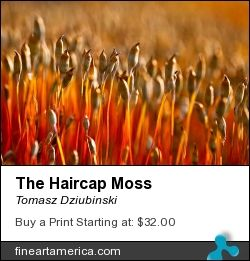 The Haircap Moss