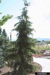 Image of the Serbian spruce