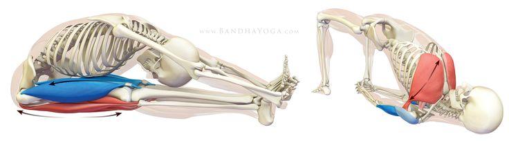 Estiramiento de los tendones de la corva en Paschimottanasana. Expansión de Pectorales en Kandharasana