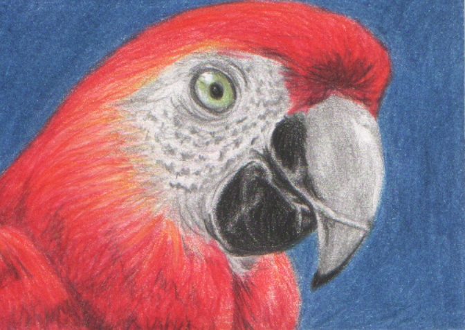 Macaw ACEO. 3.5' x 2.5'. Coloured pencils.