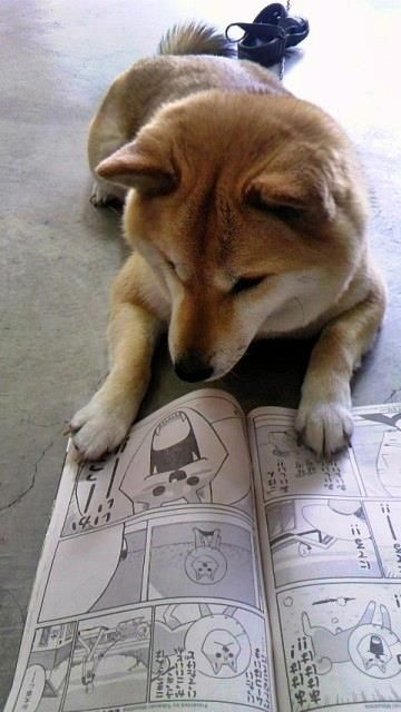 "Shiba Inu !!!!!! This dog is enjoying ""reading the comics"". I like to read them on a lazy Sunday. I also get the daily paper and read the comics. My favorite one daily is""Red and Rover""."