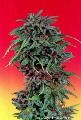 Durban Poison Feminised seeds Cannabis Seeds