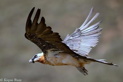 El quebrantahuesos (Gypaetus barbatus) un ave mitica.  Qieres verlo en su habitat? Te acompañamos.  www. senderosordesa.com